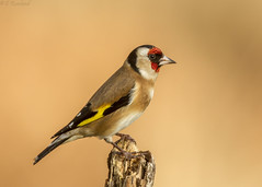 goldfinch (roly2008.) Tags: goldfinch finch bird portrait wildlife dorset pooleharbour canon 1dmkiv 100400mmmkii