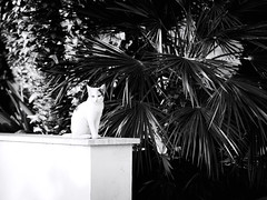 GFX2108 - Cat (Diego Rosato) Tags: cat gatto animal animale pet stray randagio giardino garden palma bianconero blackwhite fuji gfx50r fujinon gf110mm rawtherapee