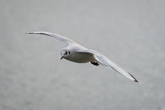 001 - Möwe am Sempachersee im Flug  - R3003420 (NEX69) Tags: möwe fe70300f4556g ilce7rm3 sempachersee vogel wasservogel