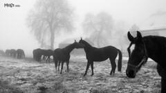 Nebelpferde (ki_mon_str) Tags: gestüt stjohann schwäbischealb pferde schnee