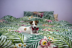 Cute puppy laying on the bed with kitty bow tie on (Rushay) Tags: indoors puppy cute tie laying kitty adorable one pet bow animal portelizabeth southafrica