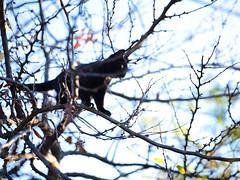 GFX3022 - Tree climber (Diego Rosato) Tags: tree climber scalatore cielo sky giardino garden stray randagio gatto cat nero black gattino kitten animal animale pet fuji gfx50r fujinon gf110mm rawtherapee albero