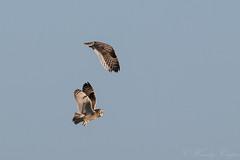 Short Eared Owl-9219 (WendyCoops224) Tags: 100400mmlmk2 80d fens canon eos ©wendycooper asio flammeus short eared owl