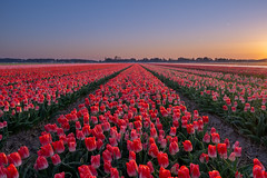 Tulip field and a sunset part 2 (Erik_Graumans) Tags: egmondbinnen northholland netherlands amazing abendstimmung landscape landschap nature beautiful colorful colors scenery licht lucht luchten dutch dusk evening fuji flowers fields flower gorgeous glow glowing holland photo light kleuren sky lovely nederland nl new outside zon zonsondergang sonne sonnenuntergang red sunlight sunset sun spectacular tulip tulips tulp tulpen tulpenvelden vibes bollenvelden xt3 zonsonderdang