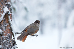 Siberian Jay! (petergranström) Tags: approved siberian jay lavskrika bied fågel tree träd pine tall twig kvist branch gren
