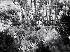 GFX2829 - Now you see me (Diego Rosato) Tags: now you see me giardino garden yellow cat gatto giallo animal animale pet stray randagio cespuglio bush bianconero blackwhite fuji gfx50r fujinon gf110mm rawtherapee
