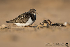 Turnstone (Matt Hazleton) Tags: turnstone arenariainterpres wader beach coast shore shorebird nature animal wildlife bird outdoor canon canoneos7dmk2 canon500mm eos 7dmk2 500mm matthazleton matthazphoto rspb rspbtitchwellmarsh titchwell titchwellmarsh norfolk