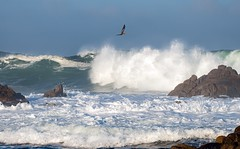 Solo Flight (Kristen Fletcher Photography) Tags: montereybay pacificgrove ocean oceanwaves coast coastline coastal pelican rockyshore rockycoast sea seabird sealife crashingwaves california