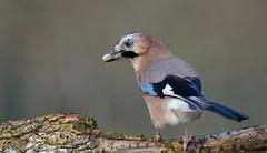 Geai des chênes (Guillaume Dardant) Tags: nature sauvage oiseaux bird passereaux forêt bois loiret d850 500mmf4 nikon geaideschênes affût garrulusglandarius corvidés passériformes eurasianjay