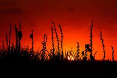 Yucca Ridge Sunset (franklin331) Tags: alpenglow aspect backcountry bliss blissdinosaurranch blissphotographics blissranch border borderlands crimson frame frankbliss franklinebliss image land landscape montana photo ranchlands ridge scenery scenic silhouette sonyalpha spotlightsunday sunday sundayread sundayfunday sundayscience wyoming yucca
