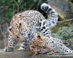 Amur Leopard Cubs (Buggers1962) Tags: leopard leopardcubs amurleopard amurleopardcub bigcat colchesterzoo canon canon7d flickrbigcats