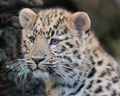 Amur Leopard Cub (Buggers1962) Tags: leopard leopardcubs amurleopard amurleopardcub bigcat colchesterzoo canon canon7d flickrbigcats