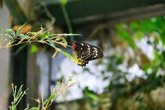 butterflies2020-60 (gtxjimmy) Tags: nikonz50 nikon z50 butterflies magicwings insects insect deerfield massachusetts newengland