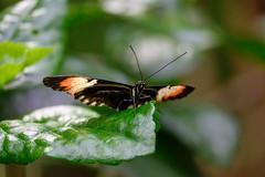 butterflies2020-59 (gtxjimmy) Tags: nikonz50 nikon z50 butterflies magicwings insects insect deerfield massachusetts newengland