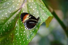 butterflies2020-58 (gtxjimmy) Tags: nikonz50 nikon z50 butterflies magicwings insects insect deerfield massachusetts newengland
