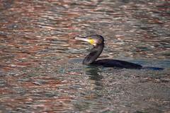 Grand Cormoran (Marc ALMECIJA) Tags: outdoor outside oiseau nature natur wildlife eau wat aqua reflections reflets panasonic g9 100400 montpellier