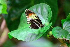 butterflies2020-57 (gtxjimmy) Tags: nikonz50 nikon z50 butterflies magicwings insects insect deerfield massachusetts newengland