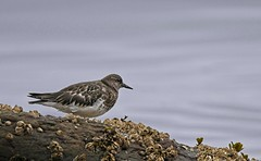 20190828Z7_6101FLR (cisco42) Tags: bc britishcolumbia canada blackturnstone bird shoreline vancouverisland barnacle rock