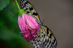 butterflies2020-51 (gtxjimmy) Tags: nikonz50 nikon z50 butterflies magicwings insects insect deerfield massachusetts newengland