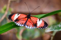 butterflies2020-49 (gtxjimmy) Tags: nikonz50 nikon z50 butterflies magicwings insects insect deerfield massachusetts newengland