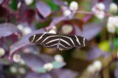butterflies2020-48 (gtxjimmy) Tags: nikonz50 nikon z50 butterflies magicwings insects insect deerfield massachusetts newengland