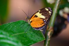 butterflies2020-47 (gtxjimmy) Tags: nikonz50 nikon z50 butterflies magicwings insects insect deerfield massachusetts newengland