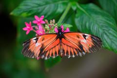 butterflies2020-46 (gtxjimmy) Tags: nikonz50 nikon z50 butterflies magicwings insects insect deerfield massachusetts newengland