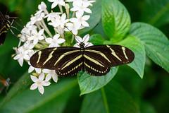 butterflies2020-44 (gtxjimmy) Tags: nikonz50 nikon z50 butterflies magicwings insects insect deerfield massachusetts newengland