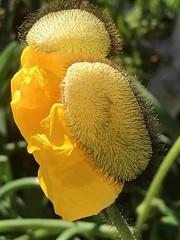 Breaking Free (Chic Bee) Tags: appleiphone7plus macro flower flowerbud yellow
