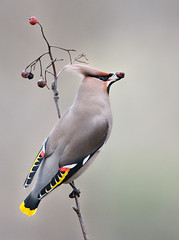 Bohemian waxwing / Tilhi (Kimmo Järvinen) Tags: waxwing bohemianwaxwing bombycillagarrulus tilhi bird birds lintu linnut nature finland nikon d500 suomi animal berry red yellow