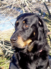 REGARD VIF (Elyane11) Tags: chiencharly regard garde beauceron oeil