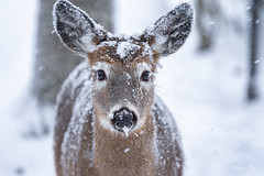 Snowflakes on my nose and eyelashes (Nancy Rose) Tags: whitetaileddeer deer doe snow snowing wods nature outdoors animal snowcovered eyes nr20200119ilce7m302528 sonya73