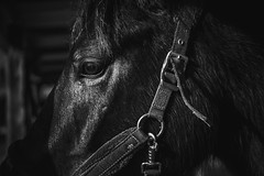 DSCF7222-Modifier-1-2 (dec2bois) Tags: horse nature eye animal beauty bw nb