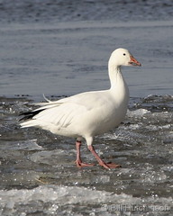 January 18, 2020 - A snow goose on ice. (Bill Hutchinson)