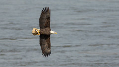 Turning Away with Its Fish (Ken Krach Photography) Tags: eagle