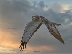 northern harrier (Brian Eagar Nature Photography) Tags: northernharrier raptor utah nature wildlife bird hawk sky sunset bif olympus em1m2 em1mii 300mmf4 olympus300mmf4 luminar utahbird utahwildlife utahnature