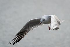 003 - Möwe am Sempachersee im Flug  - R3003427 (NEX69) Tags: möwe fe70300f4556g ilce7rm3 sempachersee vogel wasservogel