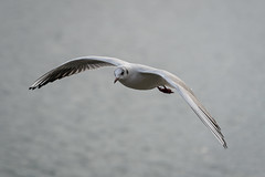 002 - Möwe am Sempachersee im Flug  - R3003421 (NEX69) Tags: möwe fe70300f4556g ilce7rm3 sempachersee vogel wasservogel