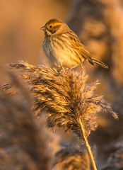 Bunting on the reed (sonnyrawson) Tags: birdphotography coloursofnature nature birding nikon bunting wildlifephotography