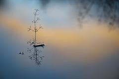 Ode aan de eenvoud / For the love of simple things. (look to see) Tags: eenvoud odeaandeeenvoud simplethings winter nachtvorst zonsopkomst color kleurcontrast kleur waterweegbree sintmaartensheide beek bree belgium vintagelens iscogöttingenteleiscaron180mmf28 minimalistisch minimalisme