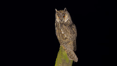 Kulaklı orman baykuşu » Asio otus » Long-eared Owl (sony_center01) Tags: bird birds animal animals wild owl night life wildlife canon ngc