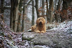 CMW06638-01 (clemenswass) Tags: contax zeiss cy 200mm f4 briard dog woods