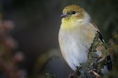 Goldfinch (Roger Daigle) Tags: birds goldfinch nikon