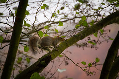 Into the Woods (jemmawalton) Tags: animal squirrel woodland trees branch mammal