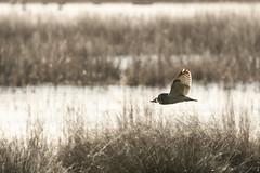 Short Eared Owl-9314 (WendyCoops224) Tags: 100400mmlmk2 80d fens canon eos ©wendycooper asio flammeus short eared owl
