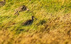 Curlew keeping his beady eye on me. (Geordie_Snapper) Tags: anglesey autumn birds canon5d4 curlew landscape penmonpoint september sunnyday