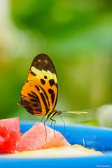 St. Louis Zoo, Missouri, Summer 2019 (fandarwin) Tags: st louis zoo missouri summer 2019 butterfly exhibit darwin fan fandarwin olympus omd em10