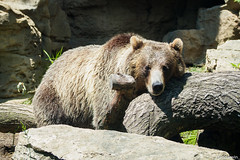 Grizzly Bear, St. Louis Zoo, Missouri, Summer 2019 (fandarwin) Tags: bear summer st zoo louis fan darwin exhibit missouri 2019 olympus omd em10 fandarwin grizzly