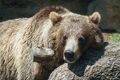Grizzly Bear, St. Louis Zoo, Missouri, Summer 2019 (fandarwin) Tags: summer st zoo louis missouri bear fan darwin olympus exhibit omd 2019 em10 fandarwin grizzly