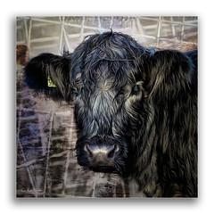 Bluebell (cleigh01) Tags: ddg topaz photoshop cow blackhighlandxwhiteshorthorn highlandcow bluebell blueeyes animal shorthorn art digitalart